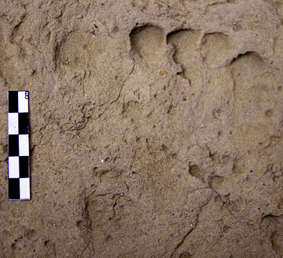 Foot impression in the clay surface of the Ramesside period (house E13.7)