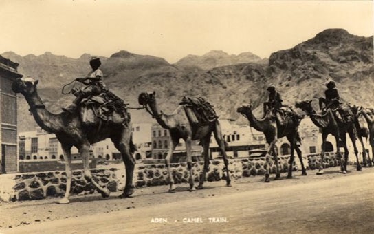 Postcard with a view of a camel train, Aden.