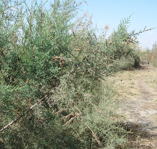 A tamarisk in the Wadi el-Natrun