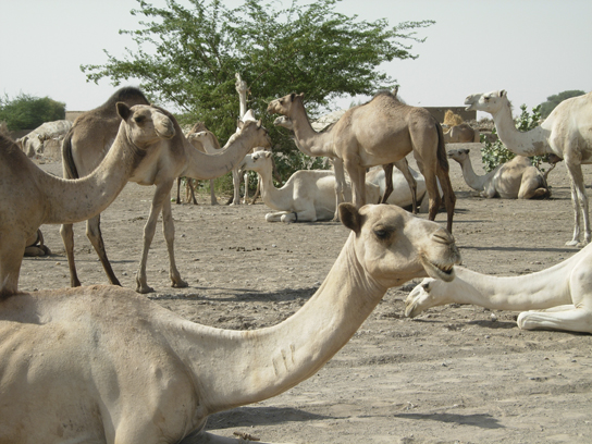 A herd of Sudanese camels (photograph © J. Anderson)