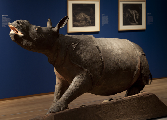 Curious Beasts at Compton Verney: the stuffed rhinoceros