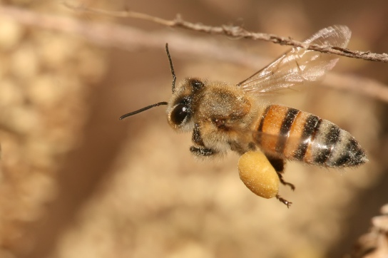 Apis mellifera (Photograph: by Muhammad Mahdi Karim (www.micro2macro.net) Facebook Youtube (Own work) [GFDL 1.2 (http://www.gnu.org/licenses/old-licenses/fdl-1.2.html)], via Wikimedia Commons)