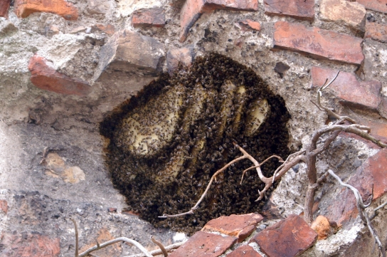 Wild bees' nest showing combs hanging down in catenary curves or elliptical adjacent compartments. (Photo:
